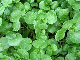 TGB watercress